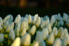 Biali tulipany na czarnym tle zdjęcie royalty free