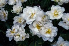 Biali tulipany na naturalnym kwiecistym tle Zdjęcie Royalty Free