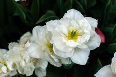 Biali tulipany na naturalnym kwiecistym tle Obraz Royalty Free