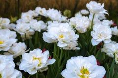 Biali tulipany na naturalnym kwiecistym tle Fotografia Royalty Free