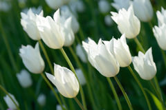 Biali tulipany na polu Zdjęcie Royalty Free