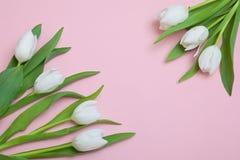 Biali tulipany na różowym tle Zdjęcie Stock