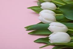 Biali tulipany na różowym tle Zdjęcie Royalty Free