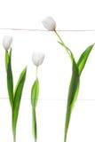 Biali tulipany Rodzinni Obraz Stock