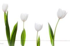 Biali tulipany Rodzinni Fotografia Stock
