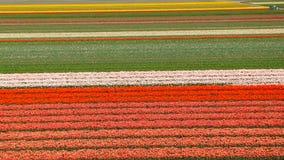 Biali tulipany w Keukenhof Obrazy Stock