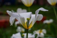 Biali tulipany w ogródzie zdjęcie stock