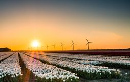 Biali tulipany w polu przy wschodem słońca Obrazy Stock
