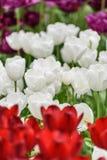 Biali tulipany w tulipanie odpowiadają dorośnięcie w Zachodnim Friesland, Netherl Zdjęcie Royalty Free