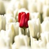 Biali tulipany w z środkowym jeden Czerwonym tulipanem obrazy stock