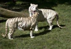 Biali tygrysy Zdjęcia Stock