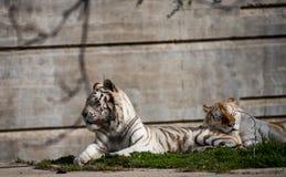 Biali tygrysy w niewoli przy zoo w Madrid, Spain zdjęcia royalty free