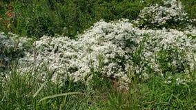 Biali Wildflowers przykopem Zdjęcia Royalty Free