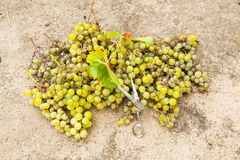 Biali winogrona żniwo i nożyce Zdjęcie Stock