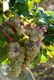 Biali winogrona Obraz Stock