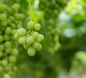 Biali winogrona fotografia royalty free