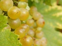 Biali winogrona Fotografia Stock