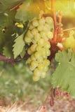Biali winogrona w jaskrawym świetle słonecznym Zdjęcia Royalty Free