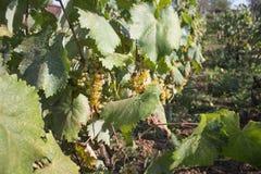 Biali winogrona wiesza na krzaku w pogodnym pięknym dniu Szczegół Handmade gronowy żniwo w Gruzińskim winnicy Fotografia Stock