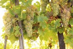 Biali winogrona, wino Zdjęcie Stock