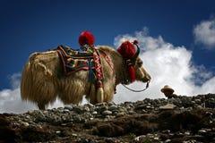 Biali yak Zdjęcie Stock