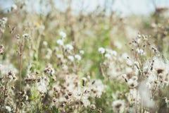 Biali zamazani dzicy kwiaty łopianowi z latań ziarnami Zdjęcia Royalty Free