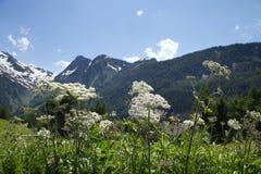 Biali zdziczali kwiaty w górach Zdjęcia Royalty Free