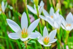 Biali zephyranthes kwiaty Podeszczowa leluja fotografia stock