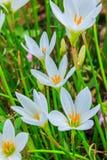Biali zephyranthes kwiaty Podeszczowa leluja zdjęcia stock