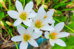 Biali zephyranthes kwiaty Podeszczowa leluja obrazy royalty free