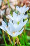 Biali zephyranthes kwiaty Podeszczowa leluja obraz stock