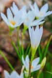 Biali zephyranthes kwiaty Podeszczowa leluja obrazy stock