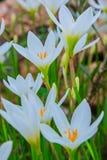 Biali zephyranthes kwiaty Podeszczowa leluja zdjęcia royalty free