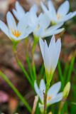 Biali zephyranthes kwiaty Podeszczowa leluja zdjęcie stock