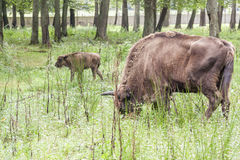 Bialowieski National Park - Poland. Aurochs head. Royalty Free Stock Image