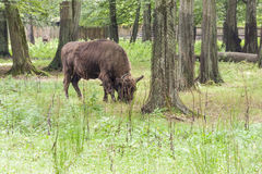Bialowieski National Park - Poland. Aurochs head. Stock Photography