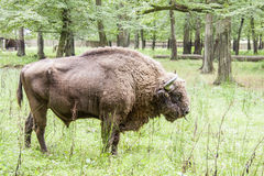 Bialowieski National Park - Poland. Aurochs head. Royalty Free Stock Photo