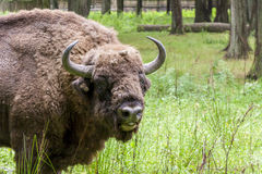 Bialowieski National Park - Poland. Aurochs head. Royalty Free Stock Photos