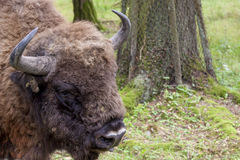 Bialowieski National Park - Poland. Aurochs head. Stock Photo