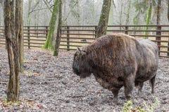 Bialowieski nationalpark - aurochs Arkivbild