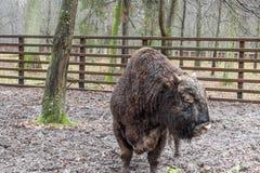 Bialowieski nationalpark - aurochs Arkivfoton
