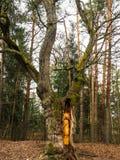 Bialowieza森林Bueauty  免版税图库摄影