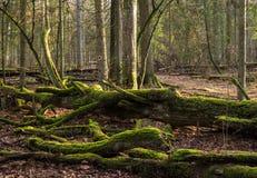Bialowieza森林Bueauty  免版税库存图片