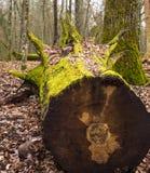 Bialowieza森林Bueauty  库存图片