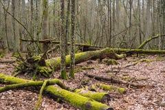 Bialowieza森林Bueauty  免版税库存照片