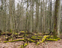 Bialowieza森林Bueauty  图库摄影