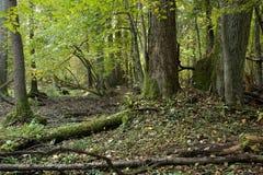 bialowieza lasowi dębu stojaka drzewa zdjęcia royalty free