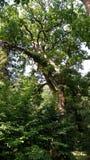 Bialowieza Niederlassungen und Stamm der laubwechselnden Eiche, König des Waldes im Undercoat von Bäumen Lizenzfreies Stockbild