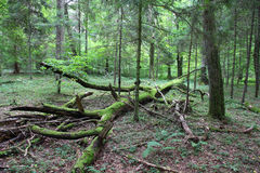 Bialowieza - primeval forest stock photos