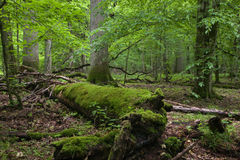 bialowieza stojaka lasu wiosny stojak Zdjęcia Stock